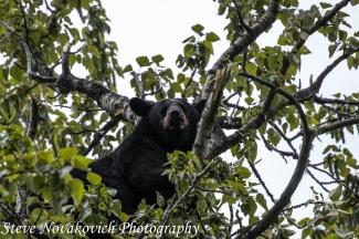 Eagle River Bear-11