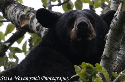 Eagle River Bear-12