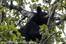 Eagle River Bear-14
