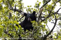 Eagle River Bear-15