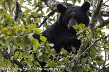 Eagle River Bear-16