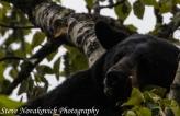 Eagle River Bear-4