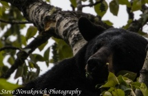 Eagle River Bear-4