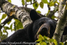 Eagle River Bear-5