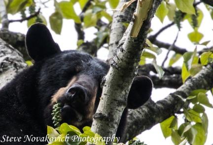 Eagle River Bear-7