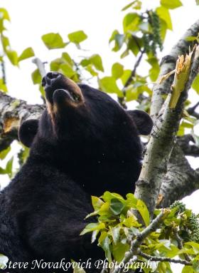 Eagle River Bear-8
